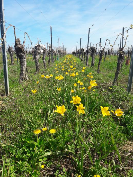 Tulipes sauvages dans notre parcelle de Gewurztraminer