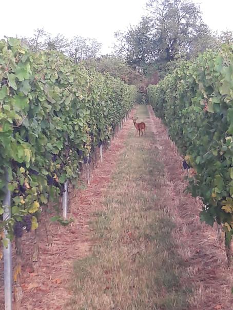 La forêt qui surplombe nos vignes abrite de nombreux chevreuils