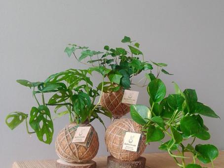 ¿Conoce las Kokedamas? Son plantas sin maceta