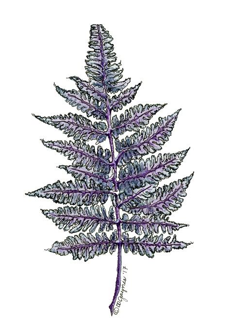 Japanese painted leaf fern