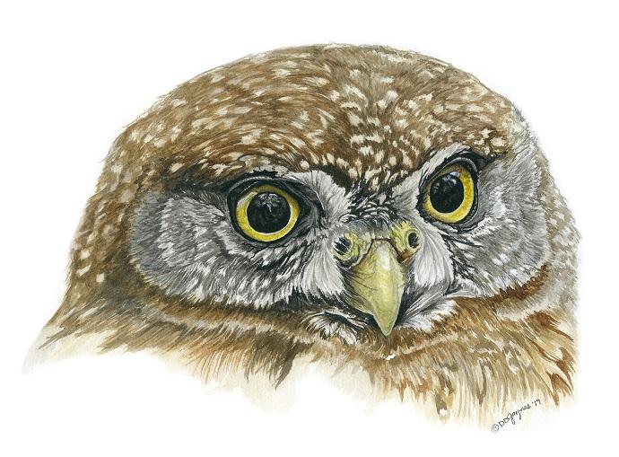 Costa Rica Pygmy Owl