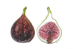 Fig dissected
