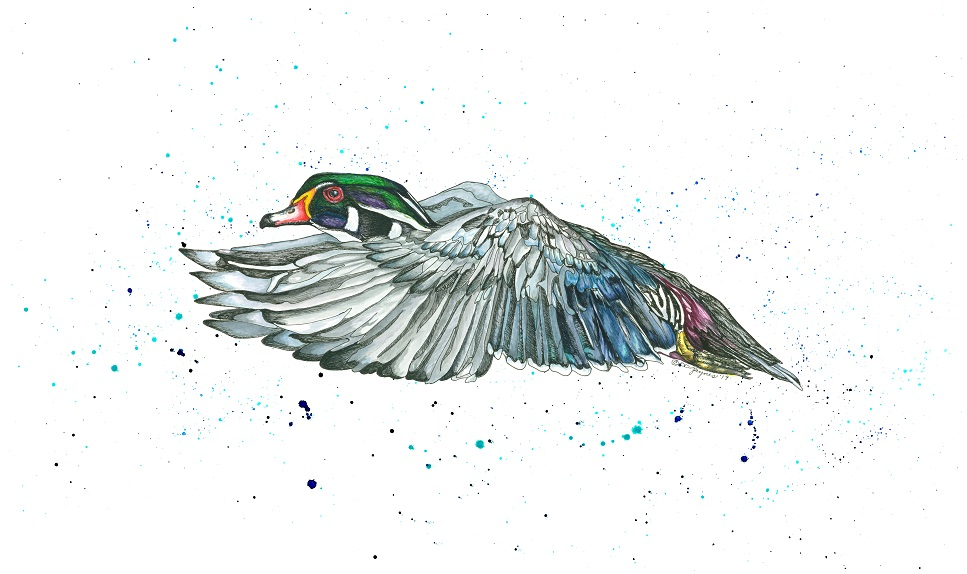 Wood Duck in Flight