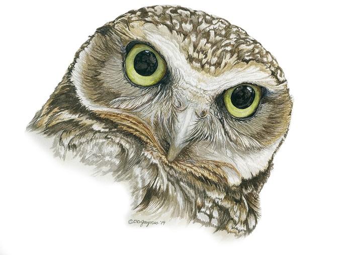 Desert Burrowing Owl