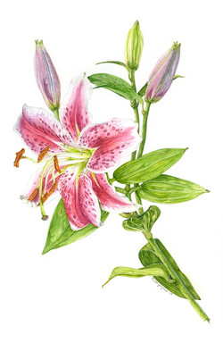 Pink Star Lily