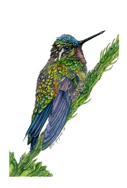 Purple Throated Mountain Gem Hummingbird