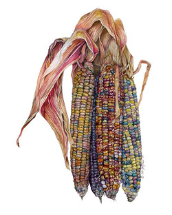 Indian Corn Bonanza