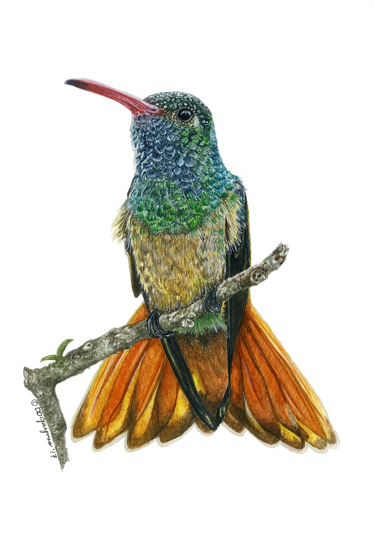 Buff Bellied Hummingbird