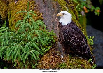 AK Wrangell, eagle.jpg