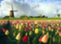 pelal tulips3.jpg