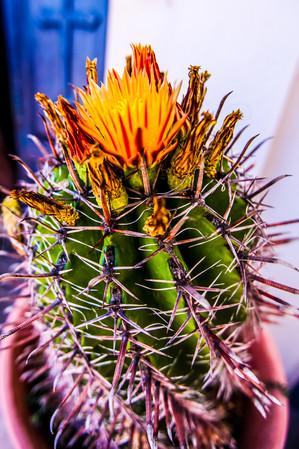 Blooming Cactus Sea of Galilee