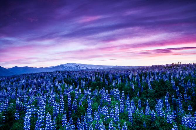 Lupin Field Iceland