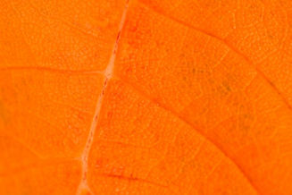 orange-leaf-detail-1449660375Dd9.jpg