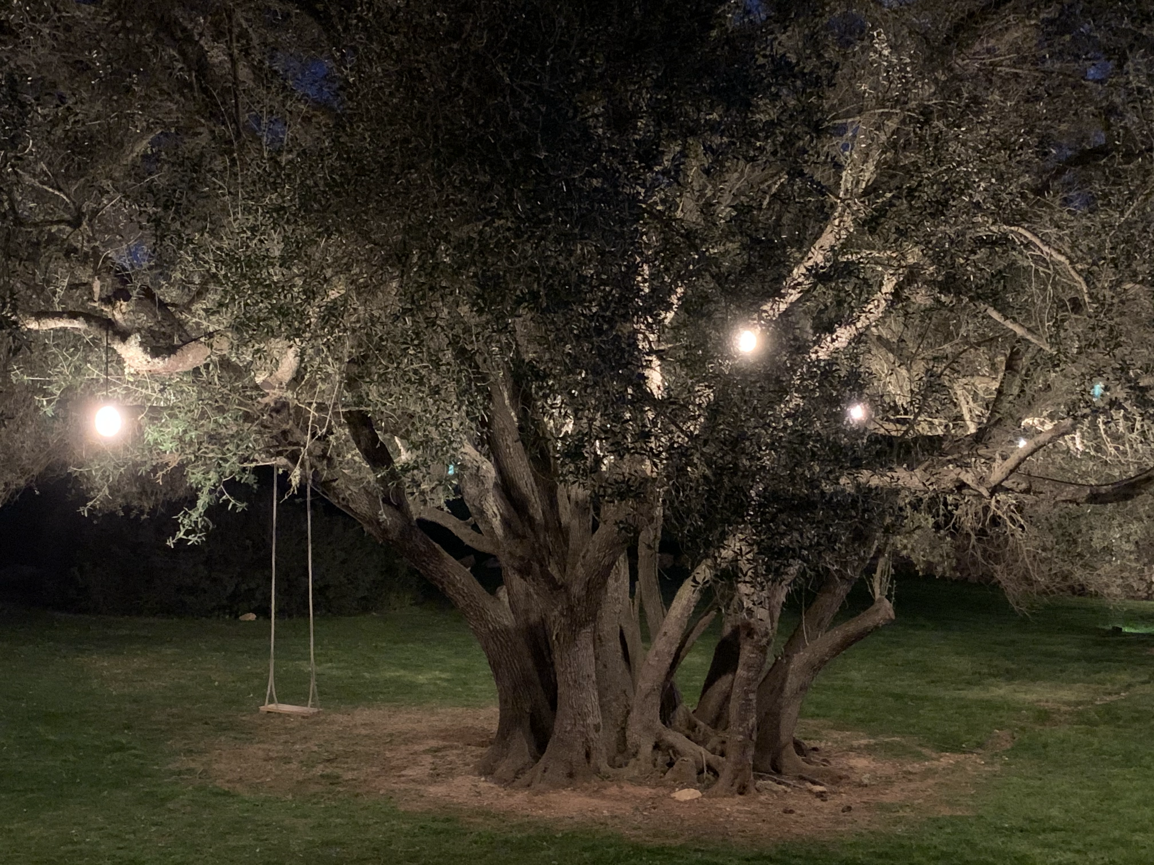 Very old olive tree in garden