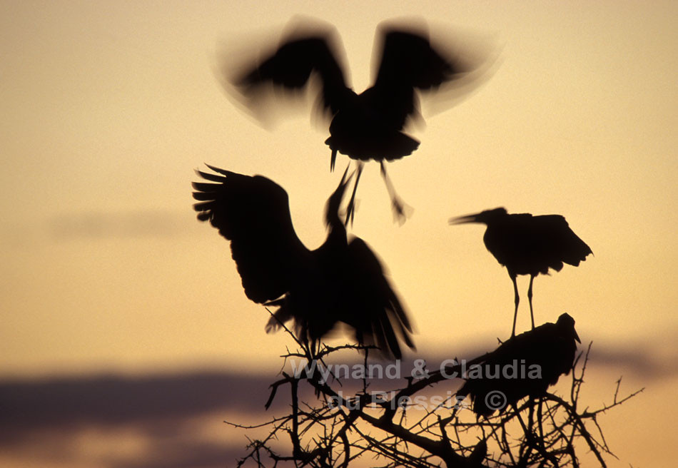 Abdim storks settle down in a tree for the night | © Claudia du Plessis