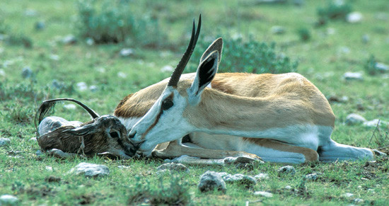 A springbok mother and newborn lamb just after the birth