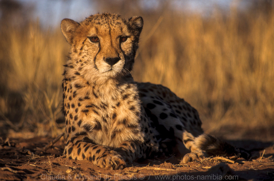Close up of a cheetah, Etosha, Namibia