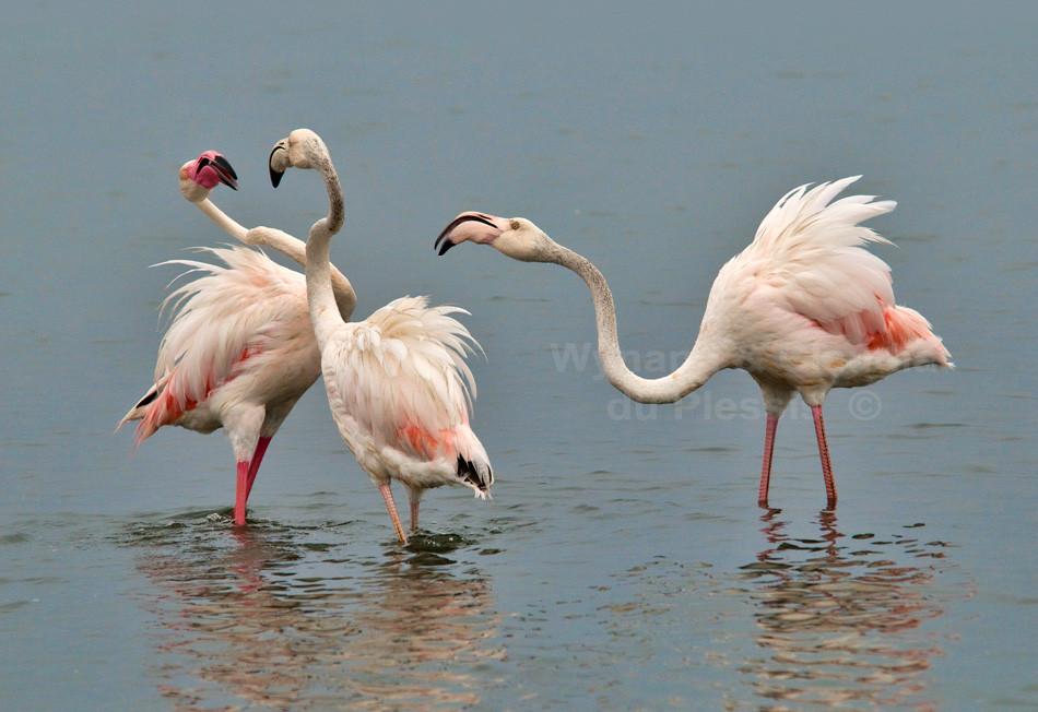 Flamingos displaying, Namibia
