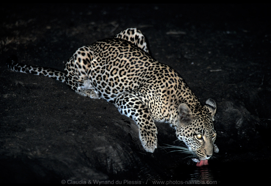 Female leopard drinks at a waterhole at night