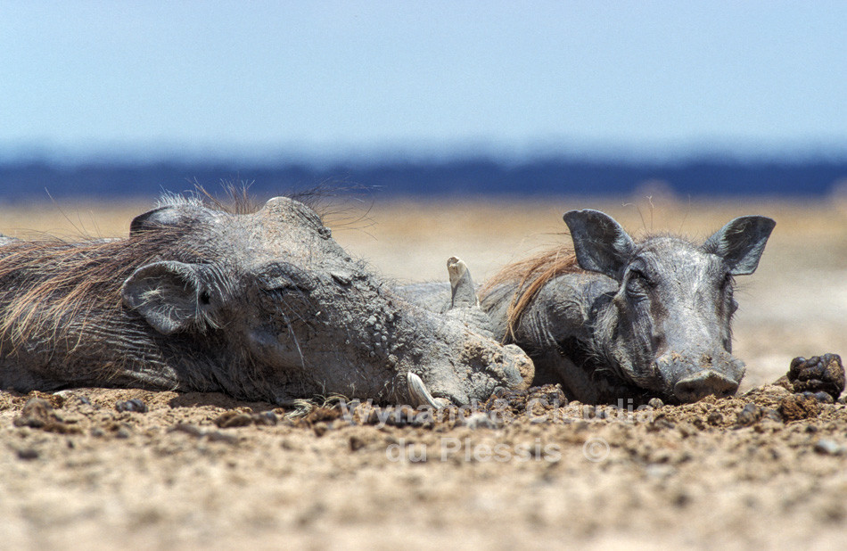 warthogs rest in the midday heat, Etosha National Park, Namibia
