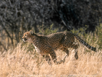 The Super Cats of Etosha [part 3]: The Fastest of them All