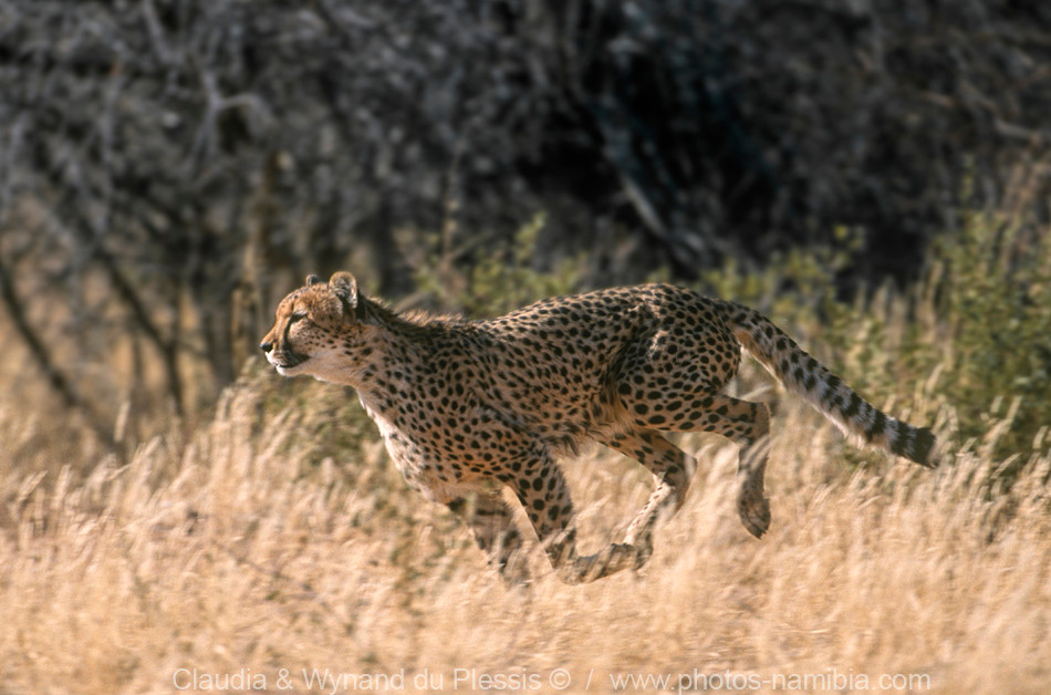 Cheetah on the run, Etosha National Park, Namibia