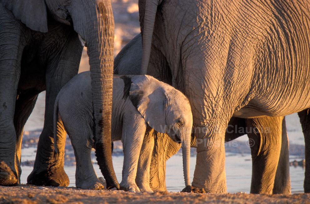 Elephant calf amidst its herd, Etosha National Park, Namibia