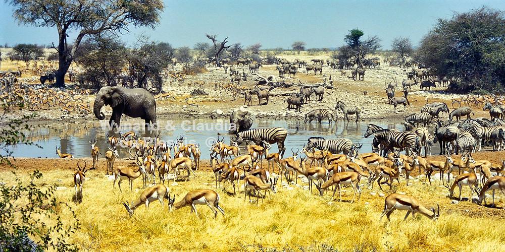 okaukuejo waterhole with springbok, zebra and elephants