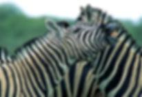 Zebra_laughing_01.jpg