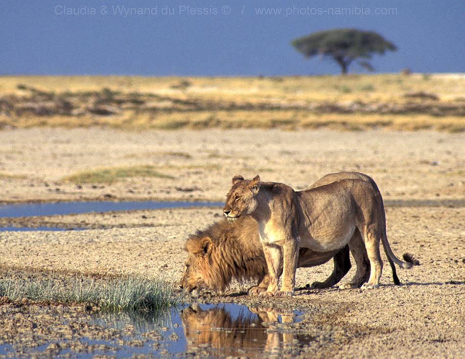 [Image] Lion couple quenching its thirst at Okondeka spring, Etosha, Namibia