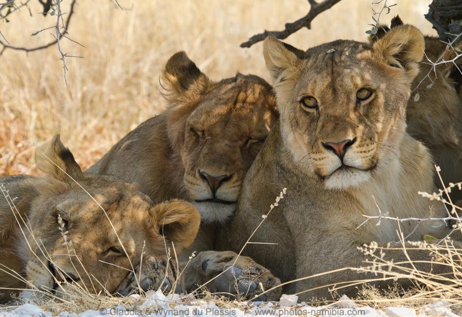 [Image] Sleepy lions, Etosha, Namibia