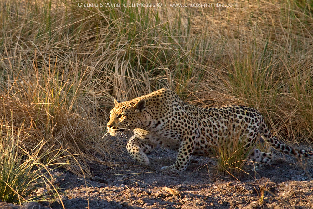 Leopard stalking in long grass, Etosha National Park, Namibia
