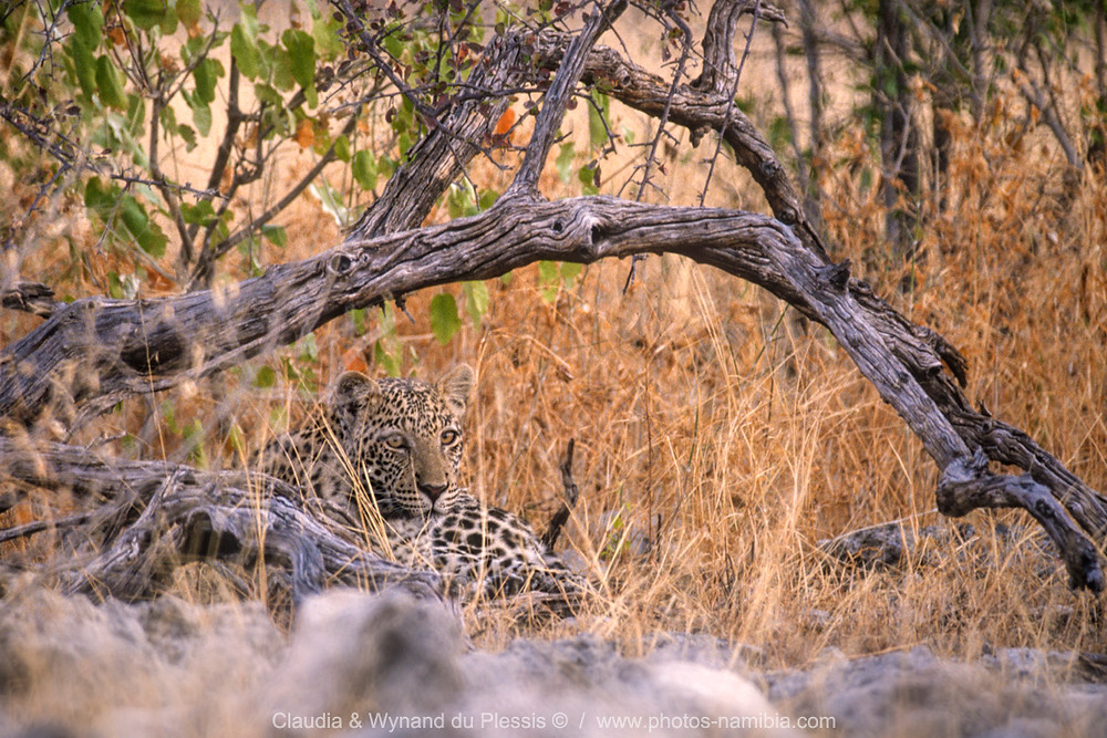 Leopard lying in high grass under a tree, Etosha National Park, Namibia