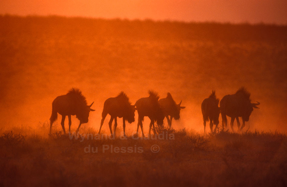 Blue Wildebeest at sunset in the Etosha National Park, Namibia | © Wynand du Plessis