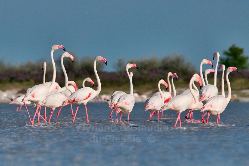 Flamingos in Fisher's Pan, Etosha