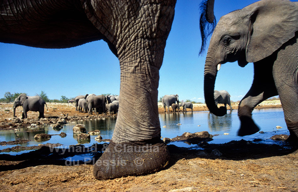 Close-up of herd of elephants at a waterhole in the Etosha National Park, Namibia