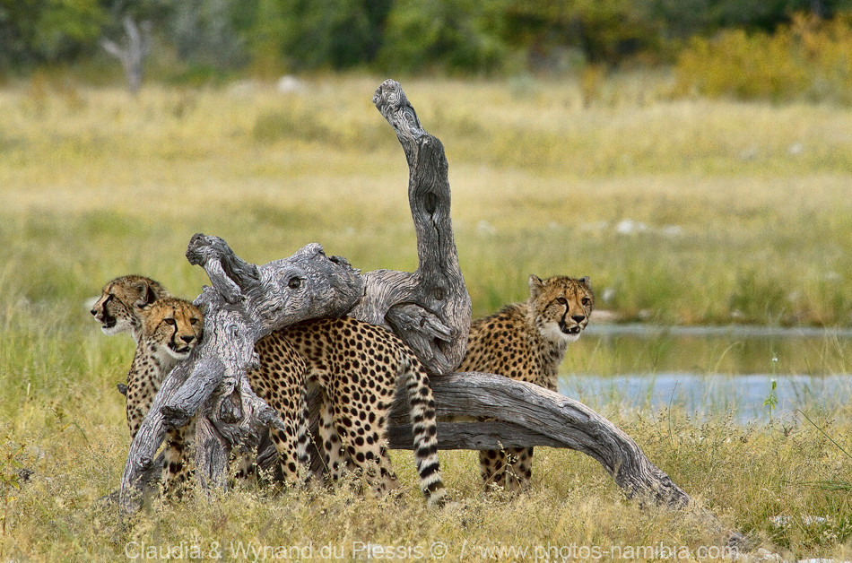Cheetah at their play tree, Etosha, Namibia