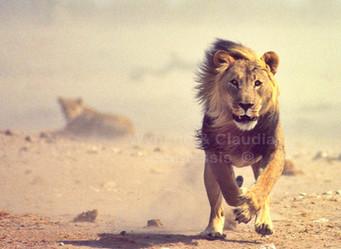 The Lion Charge | Etosha National Park, Namibia