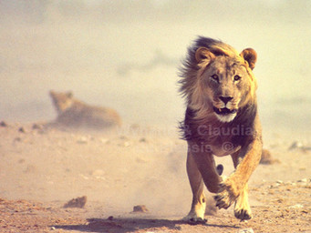 The Lion Charge | Etosha National Park, Namibia