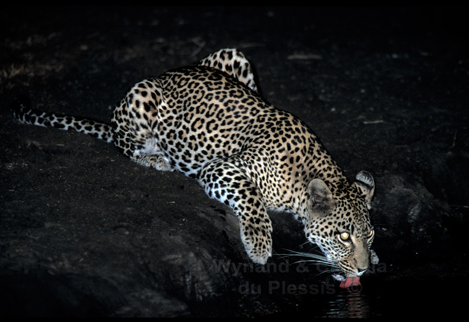 Leopard drinks at a waterhole at night