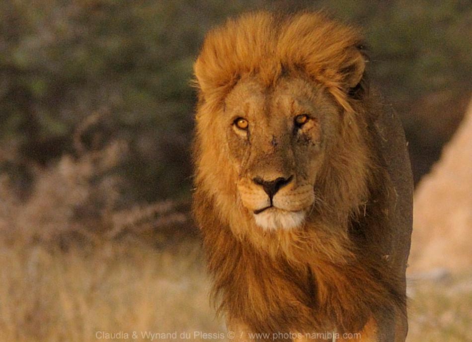 [Image] Male lion in its prime, Etosha, Namibia