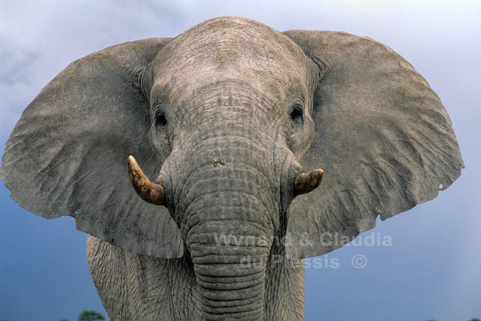 Elephant close-up, Etosha, Namibia