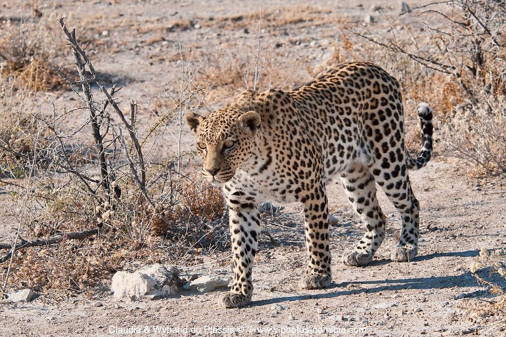 Leopard walking, Etosha Natioanl Park, Namibia