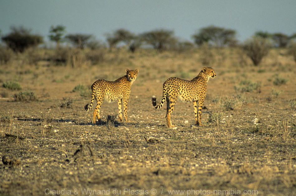 Cheetah pair on the short grass plains of Etosha, Namibia