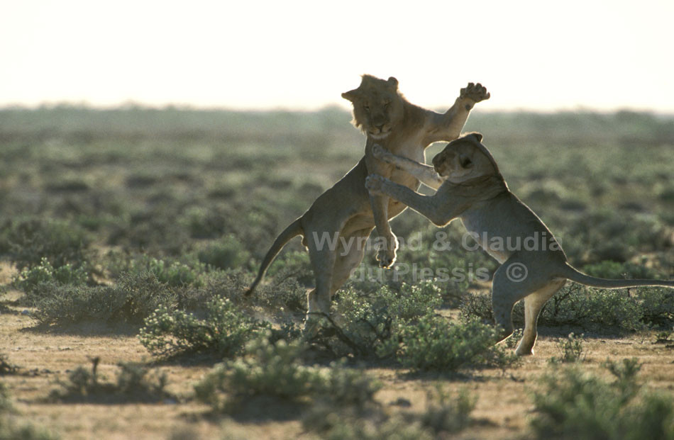 Lion Youngsters Play-Fighting In Etosha, Namibia