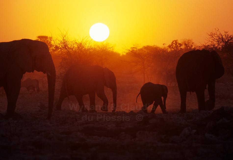 Elephants at sunset, Etosha National Park, Namibia