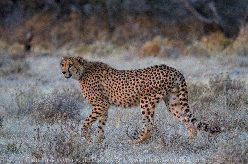 cheetah on the Etosha plains, Namibia