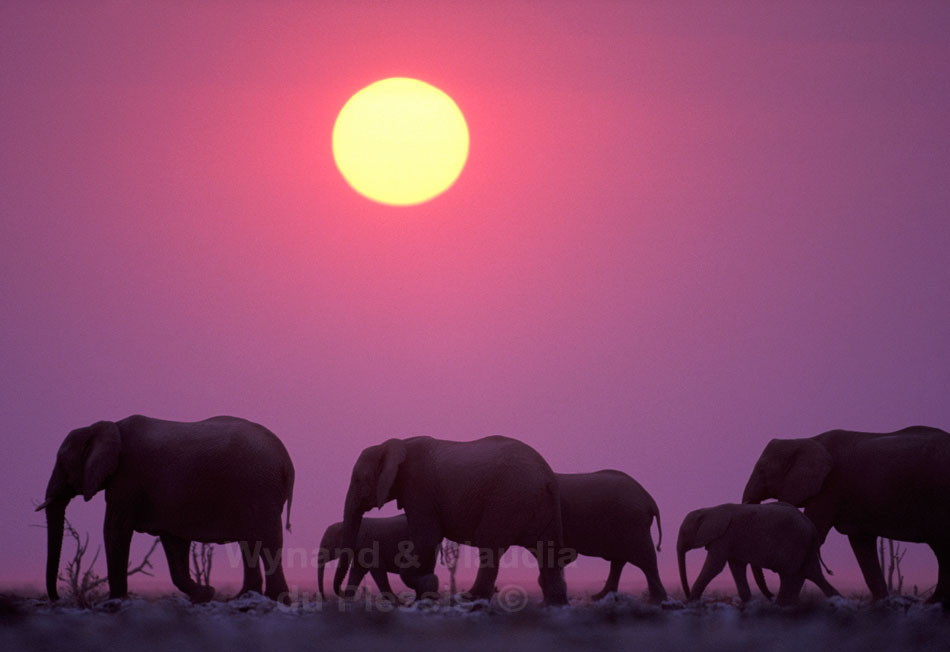 Herd of elephants in the Etosha National Park, Namibia