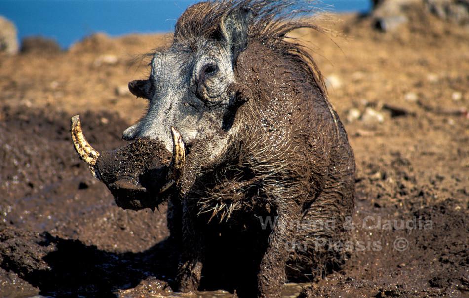 Warthog takes a mud-bath, Etosha National Park, Namibia
