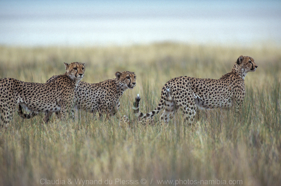 Group of cheetah along the Etosha Pan, Namibia